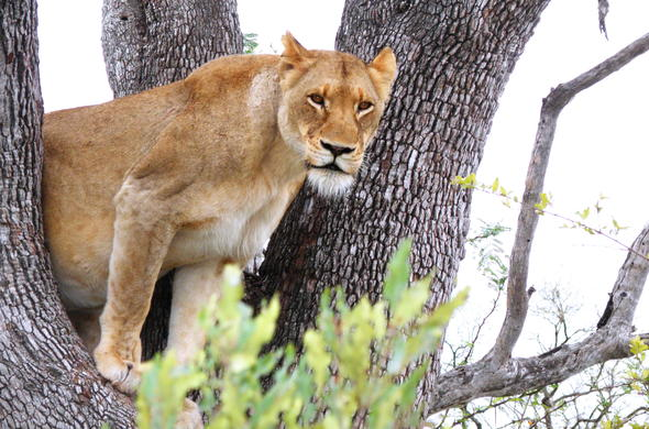 Lion spotted in a tree in Thornybush Private Game Reserve.