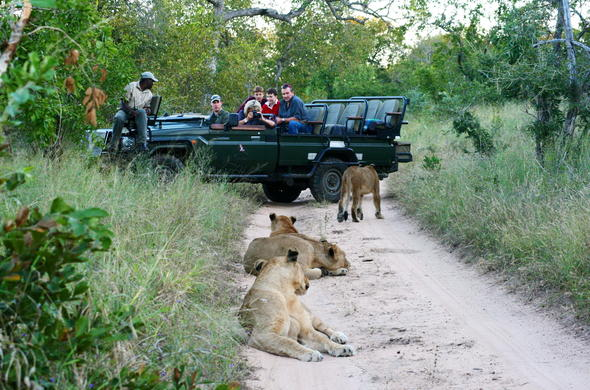 Spot lions on game drives.