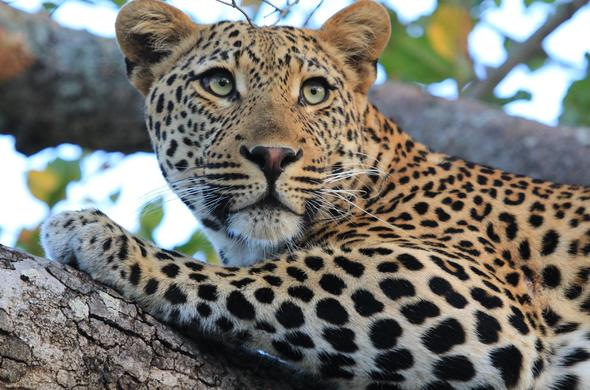 Leopard lounging in a tree in Thornybush.