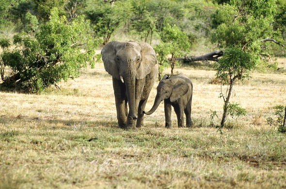 Elephant and calf roaming around Thornybush Private Game Reserve.