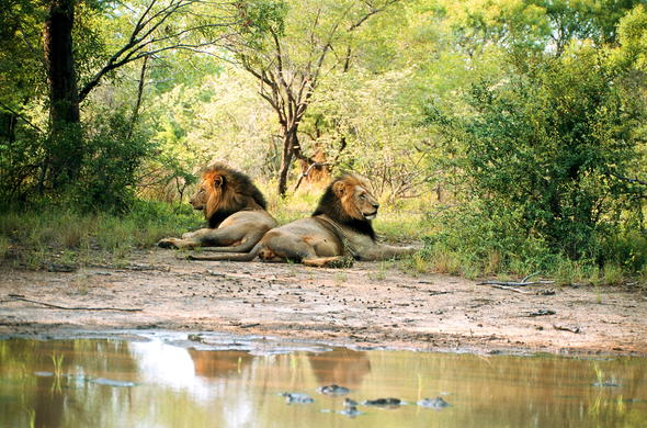 Male lions spotted in Thornybush Private Game Reserve.