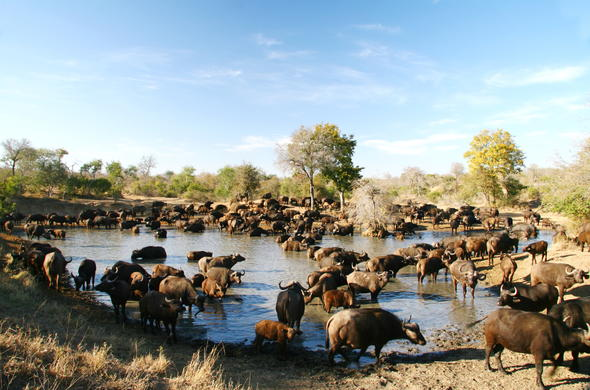 Witness the buffalo migration at the waterhole.