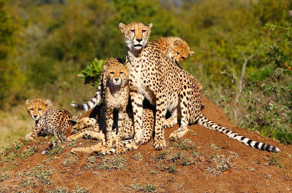 Cheetah cubs in Thornybush Game Reserve.