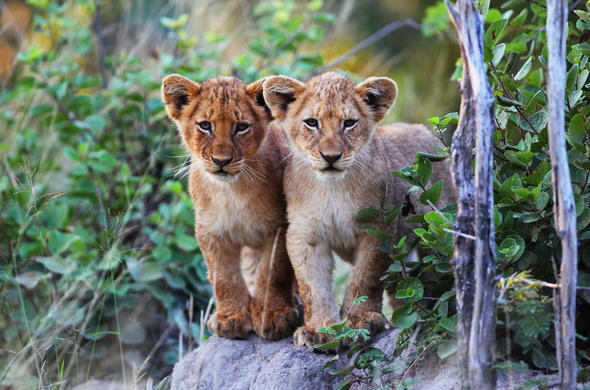 Adorable lion cubs sighting.