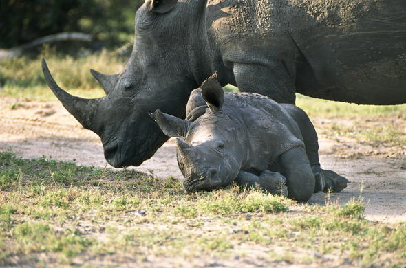 Rhino and calf in Thornybush Private Game Reserve.