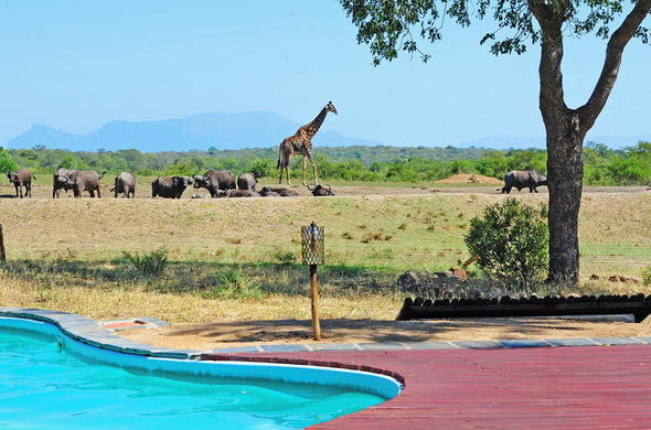 Buffalo and giraffe sightings from the swimming pool.